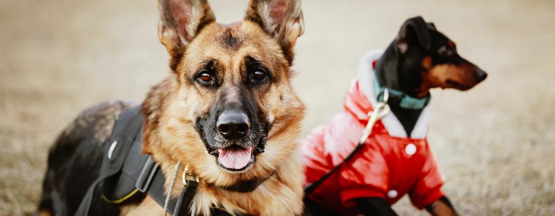 Como Ser Adiestrador Canino
