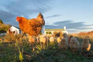 Producción avícola intensiva online
